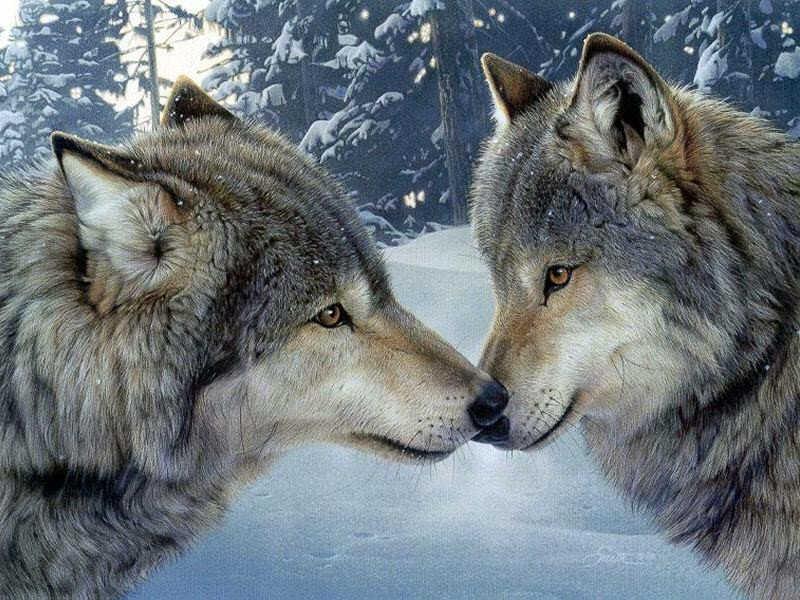 Collecorvino branco di lupi in azienda agricola sbranano for Disegni di lupi da stampare