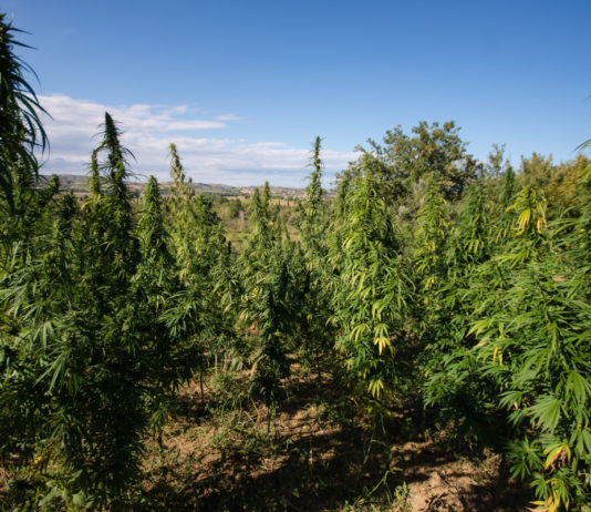 cannabis light hemp farm tortoreto