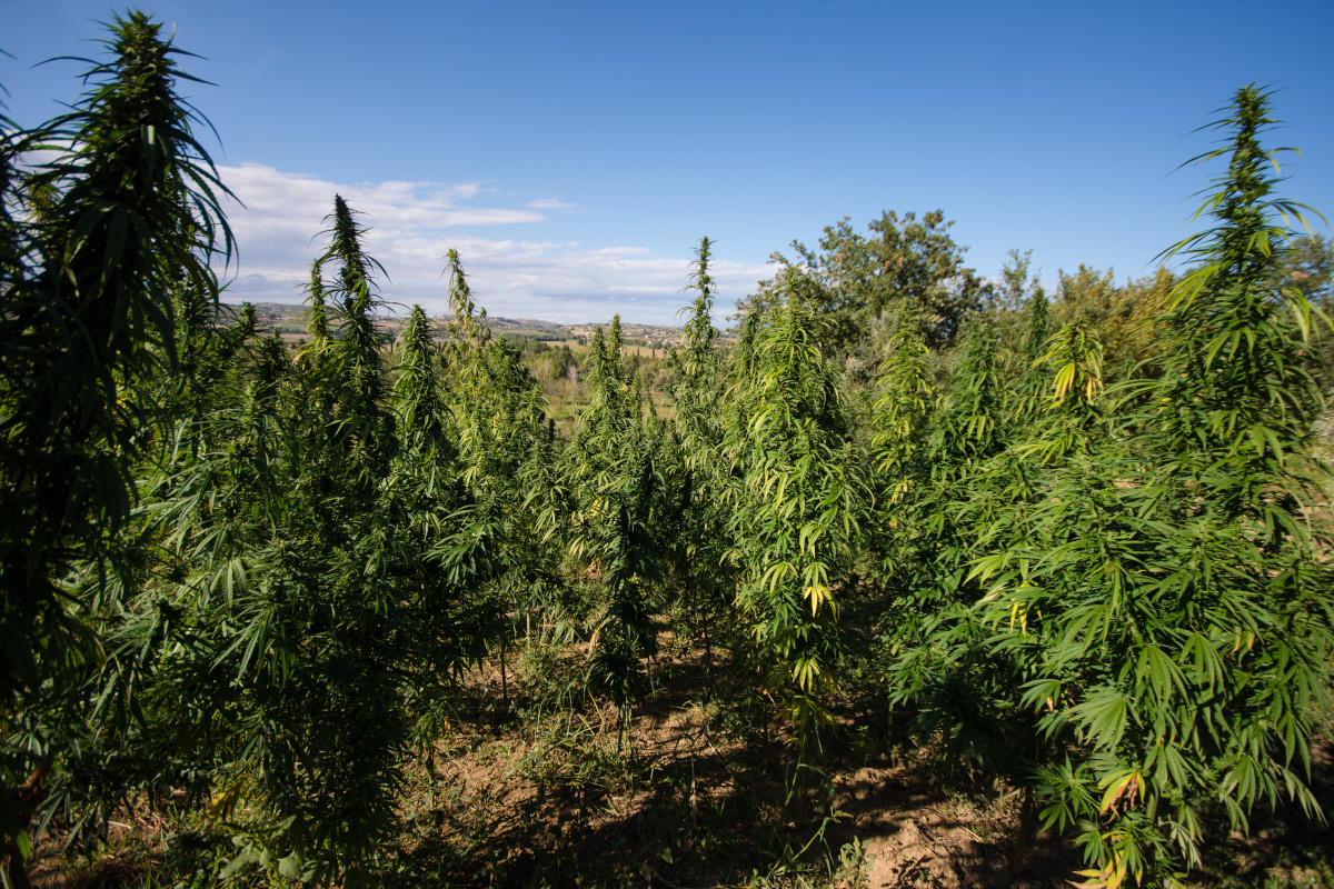 cannabis light hemp farm tortoreto