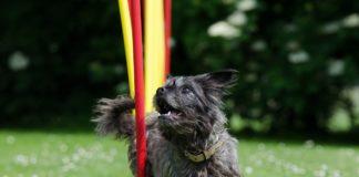 agility dog