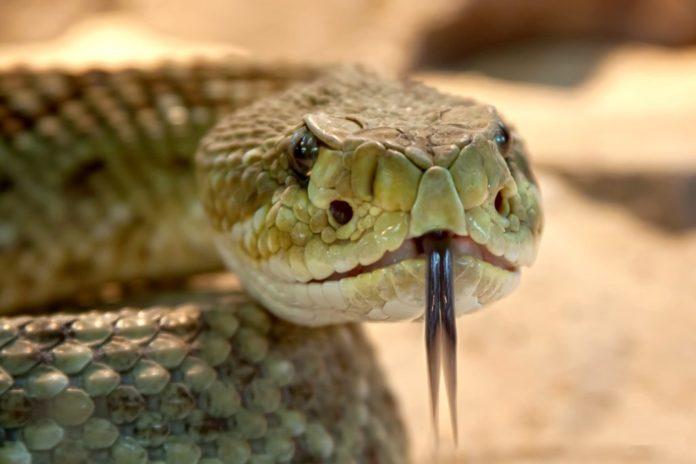 serpente mostra di serpenti vivi